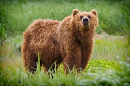 Kodiak Bear - Ursus humungus...