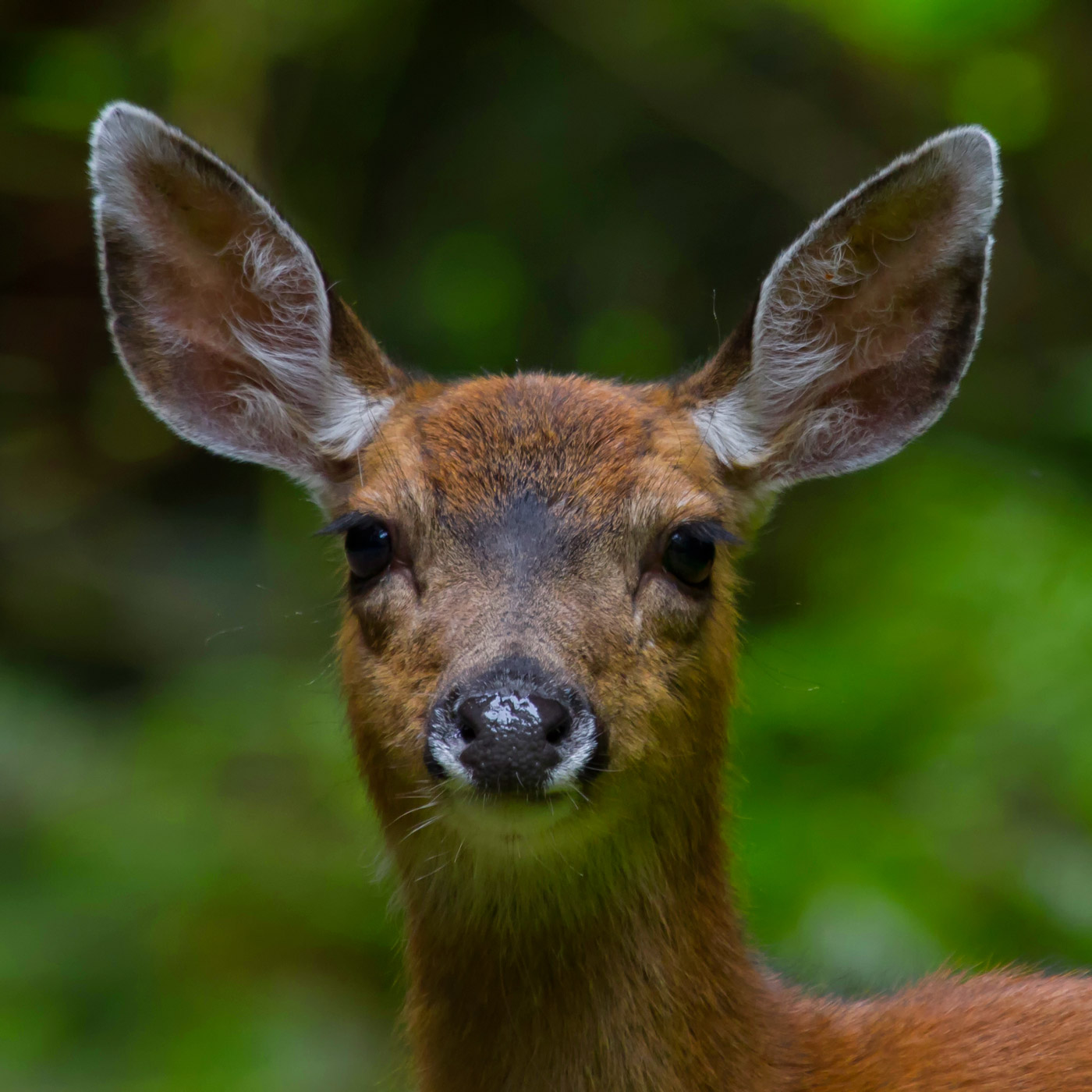 Black Tail Deer encounter