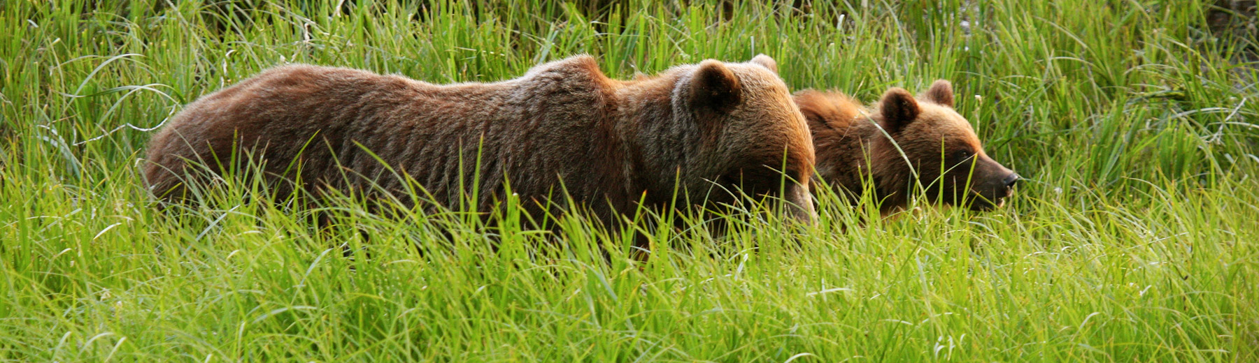Grizzlies in tall grass, BC
