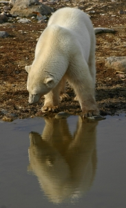 Polar bear, reflecting