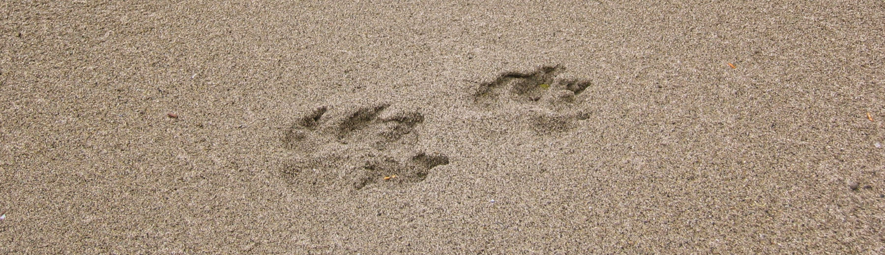 Wolf tracks on the beach, BC