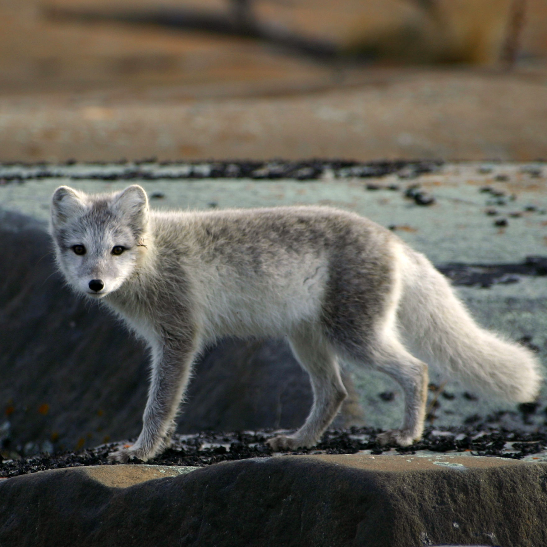 Arctic fox, Hudson Bay
