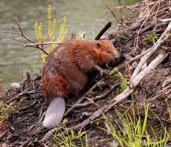 Beaver, Lake Superior