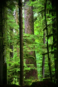 Cathedral Grove - central Vancouver Island