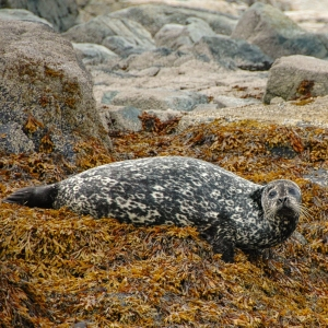 Harbour seal, Hudson Bay