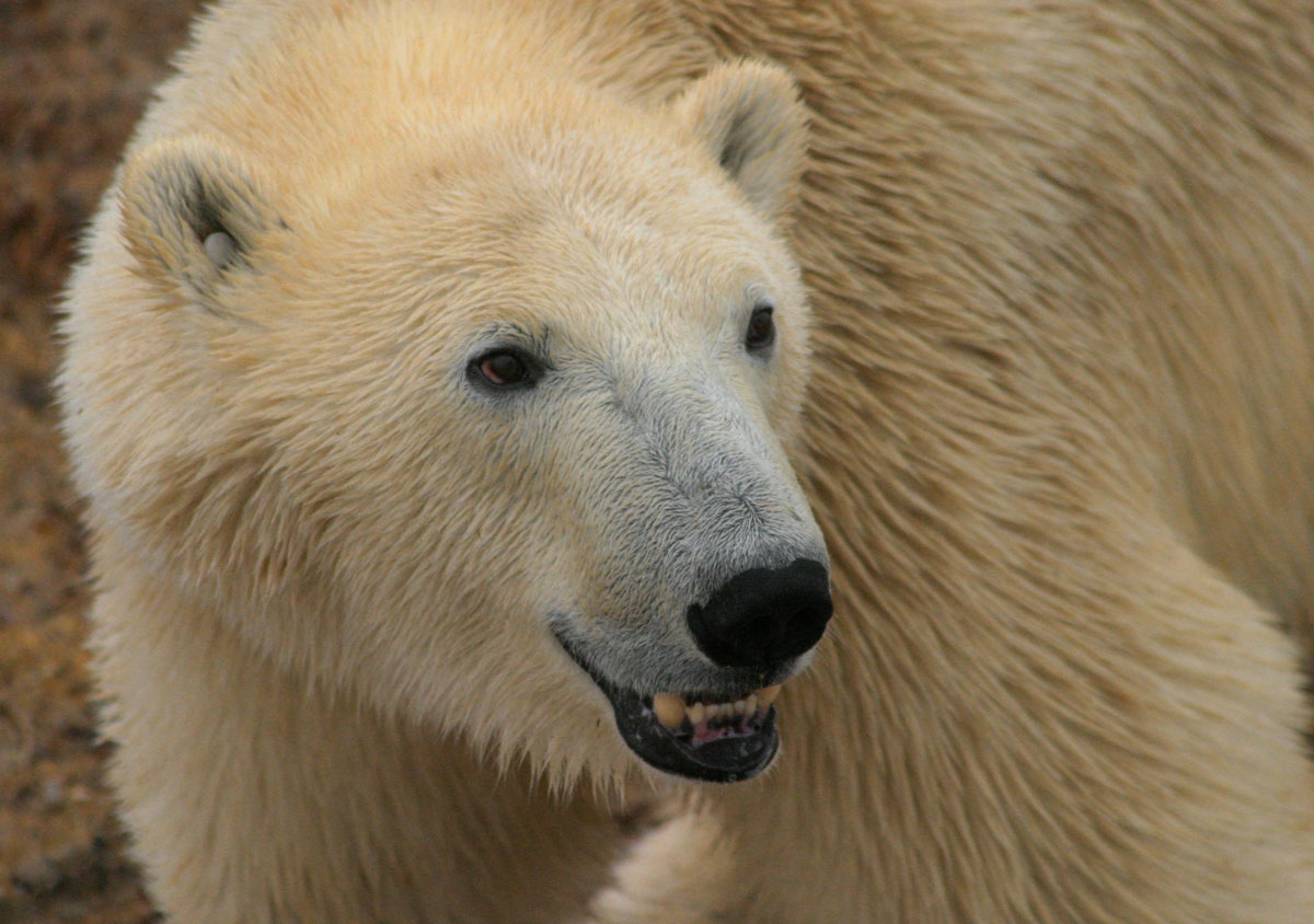 Polar bear, Hudson Bay