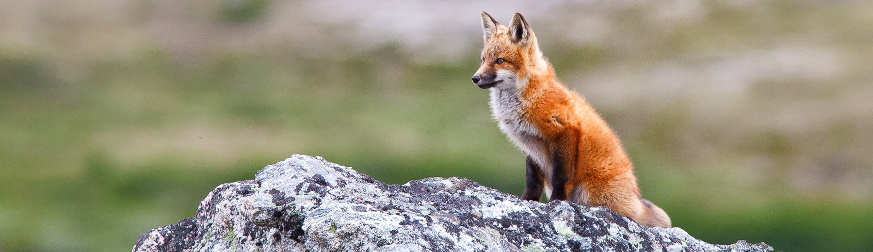 Fox on the lookout