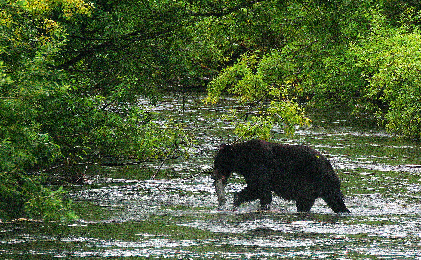 Grizzly and salmon catch