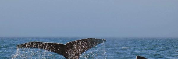 Humpback Whales- Helga Fleer 2018