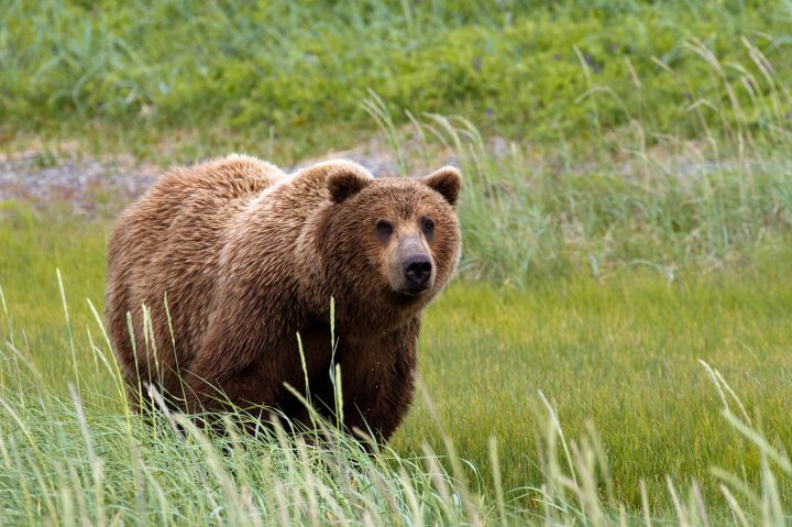 Grizzly Bear on BC tidal flats - van Dijck