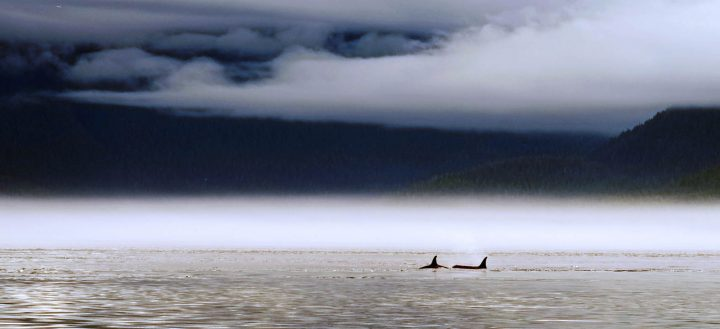 Johnstone Straits Orcas - Jaumandreu 2017