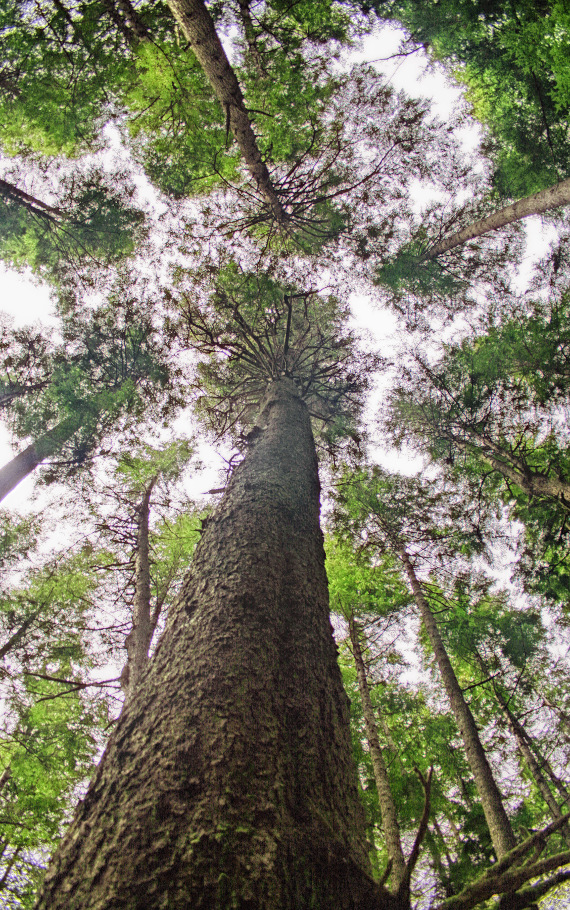 Old growth forest, Juan de Fuca