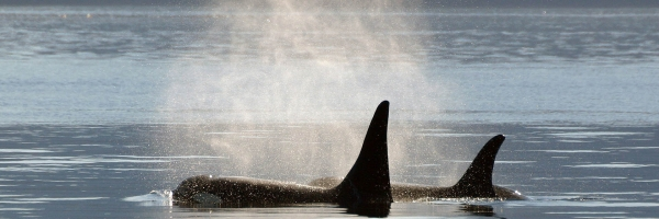 Male and female orcas - Photo: Roosenboom