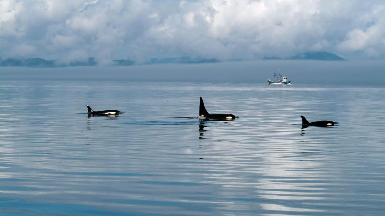 Pod of Orcas, Johnstone Strait, BC