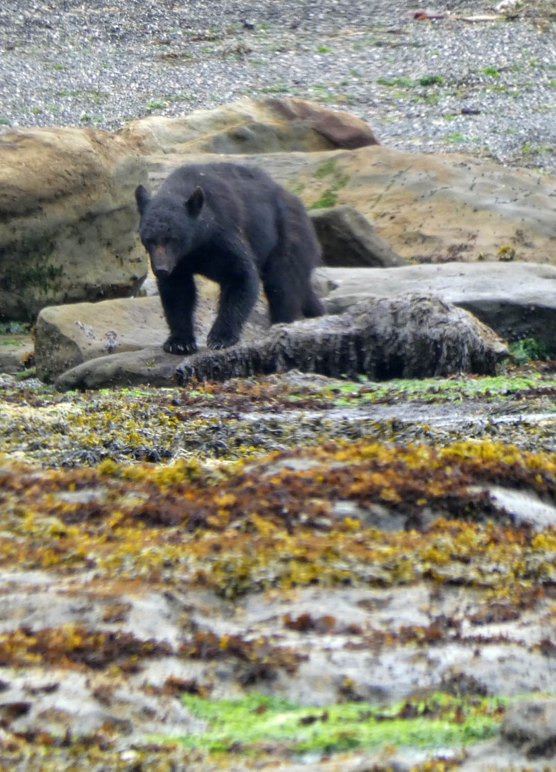 Visiting Bear, Nootka Island