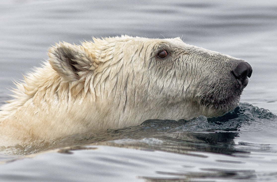 Polar bear swimming, Labrador