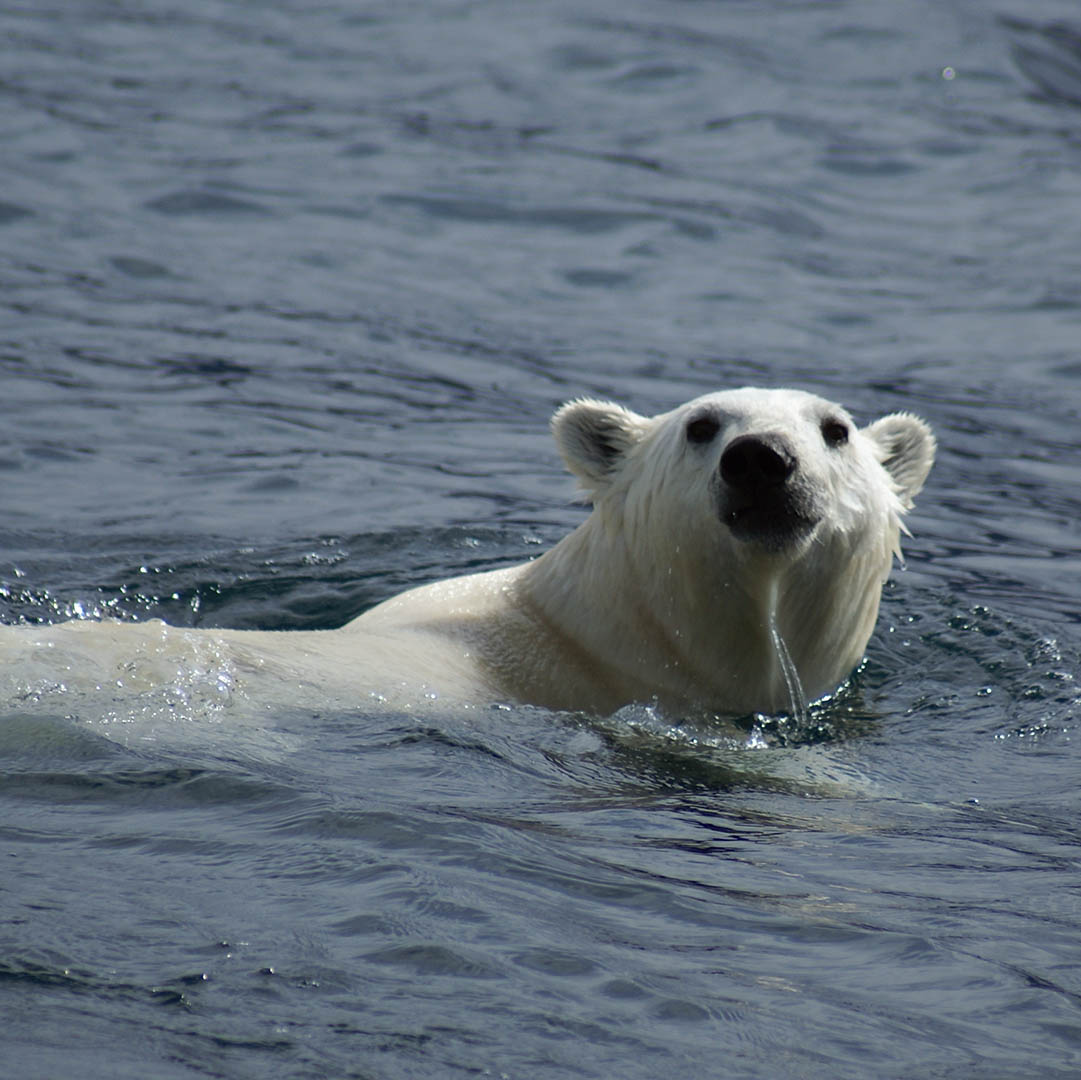 The original Polar bear swim - Jose Wolff
