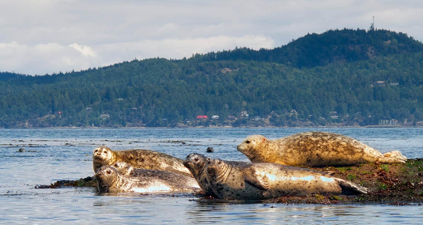 Harbour seals, Salt Spring Island