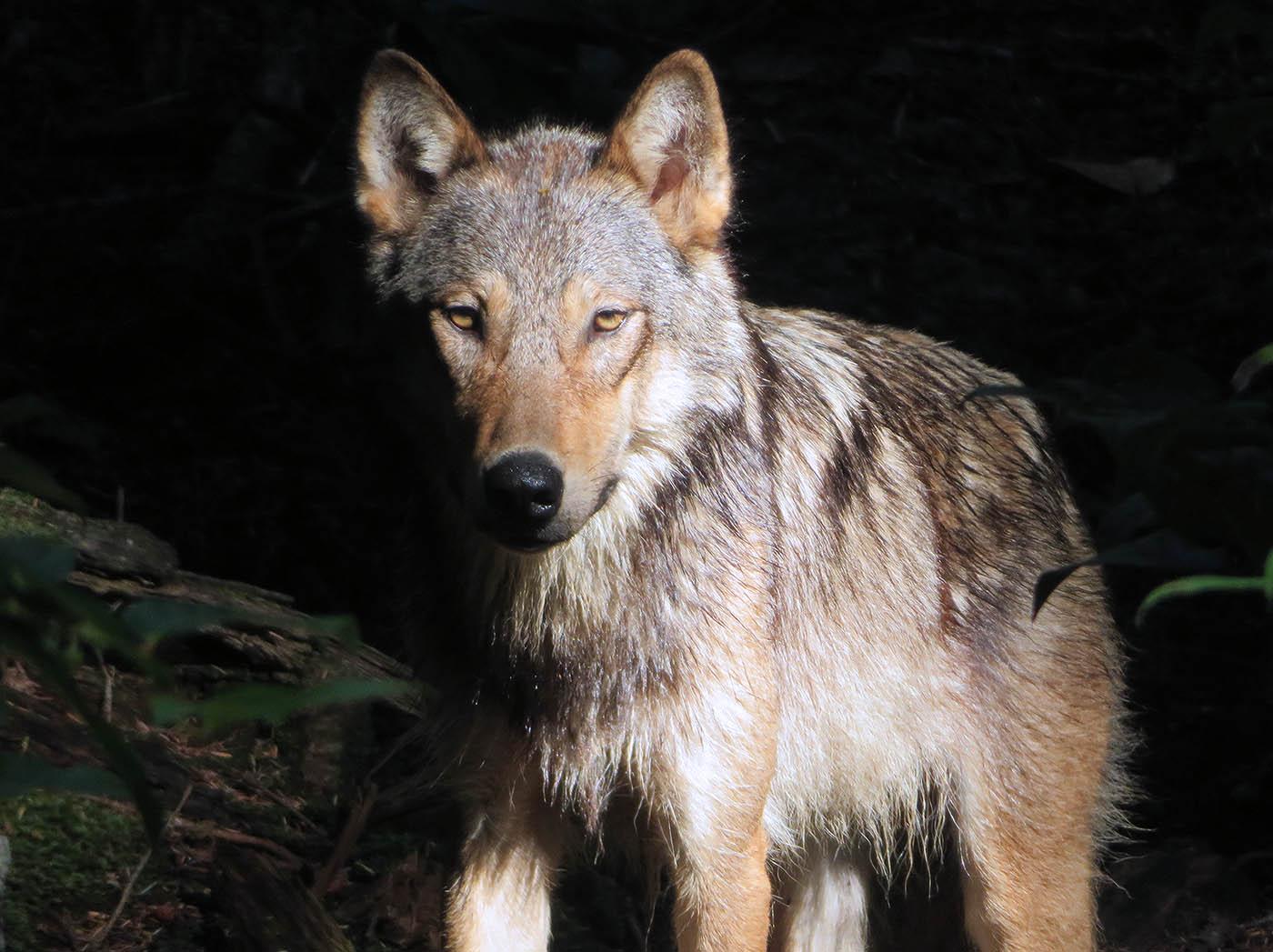 Coastal Wolf - Ter Maaten 2018