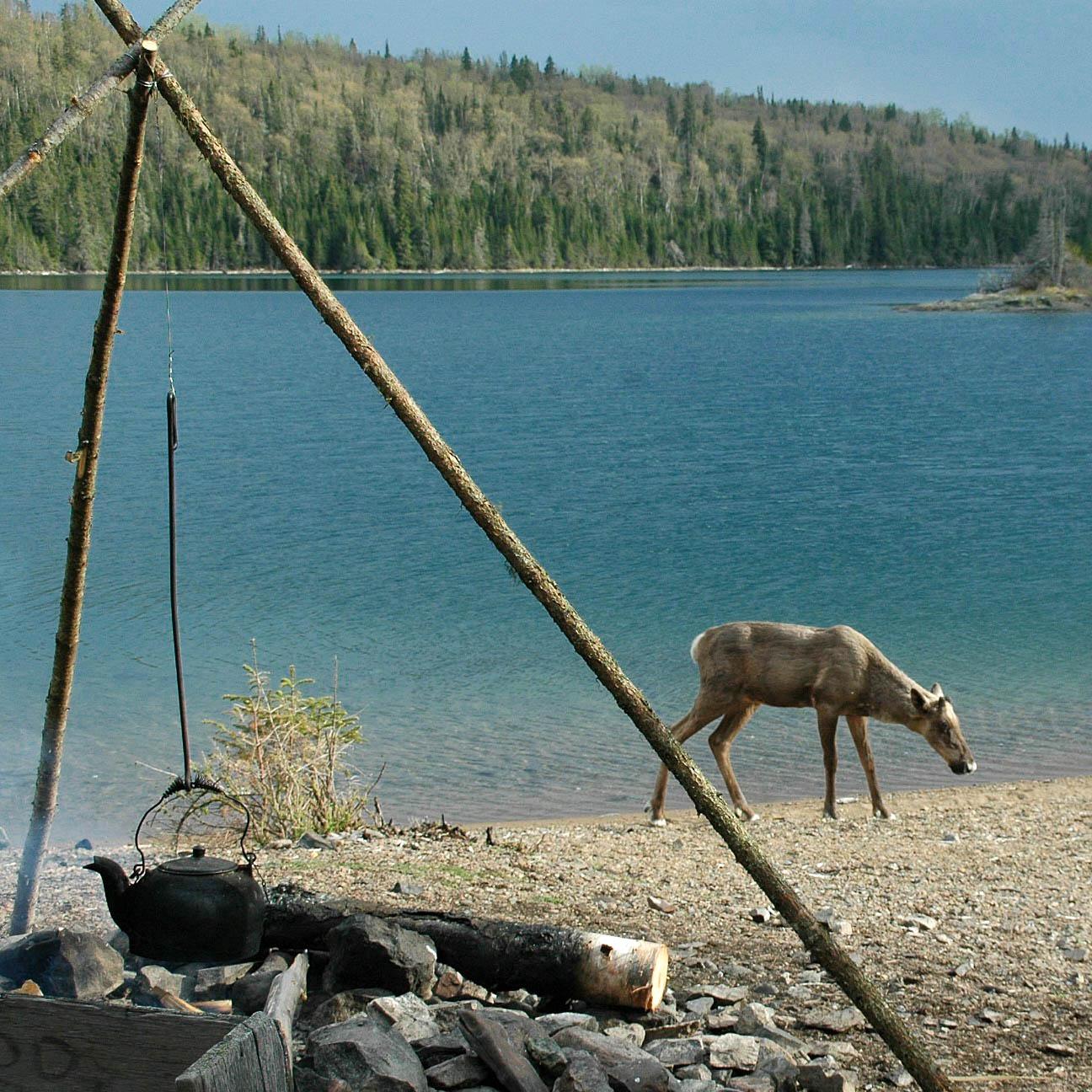 Caribou visit - Slates Island camp