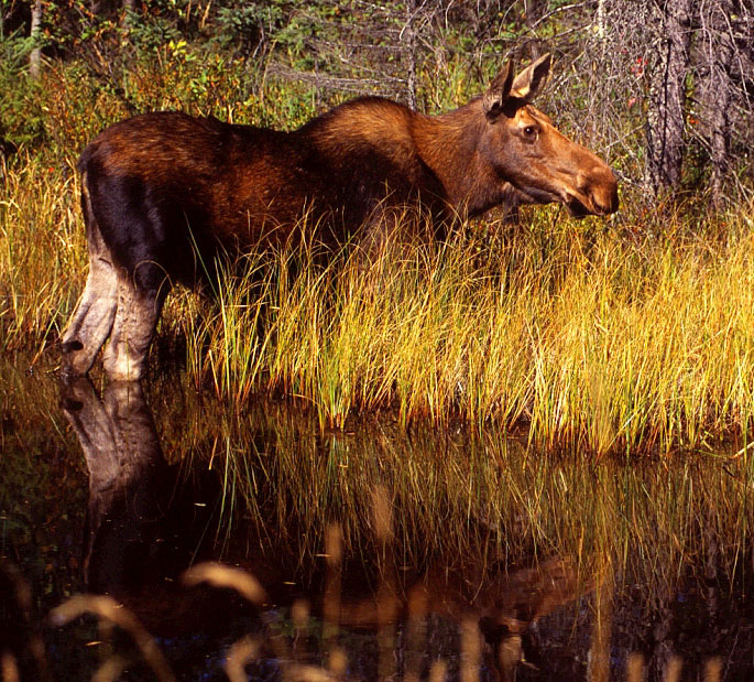 Moose (alces alces) - Marten Roosenboom