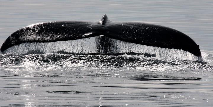 Fluke sighting off the coast of Newfoundland